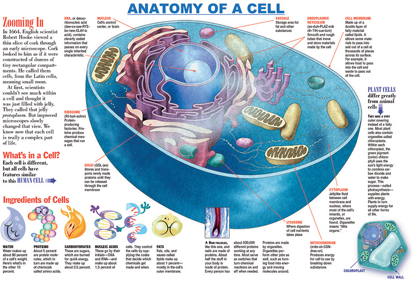 Anatomy-of-a-Cell-Infographic-Kids-Discover