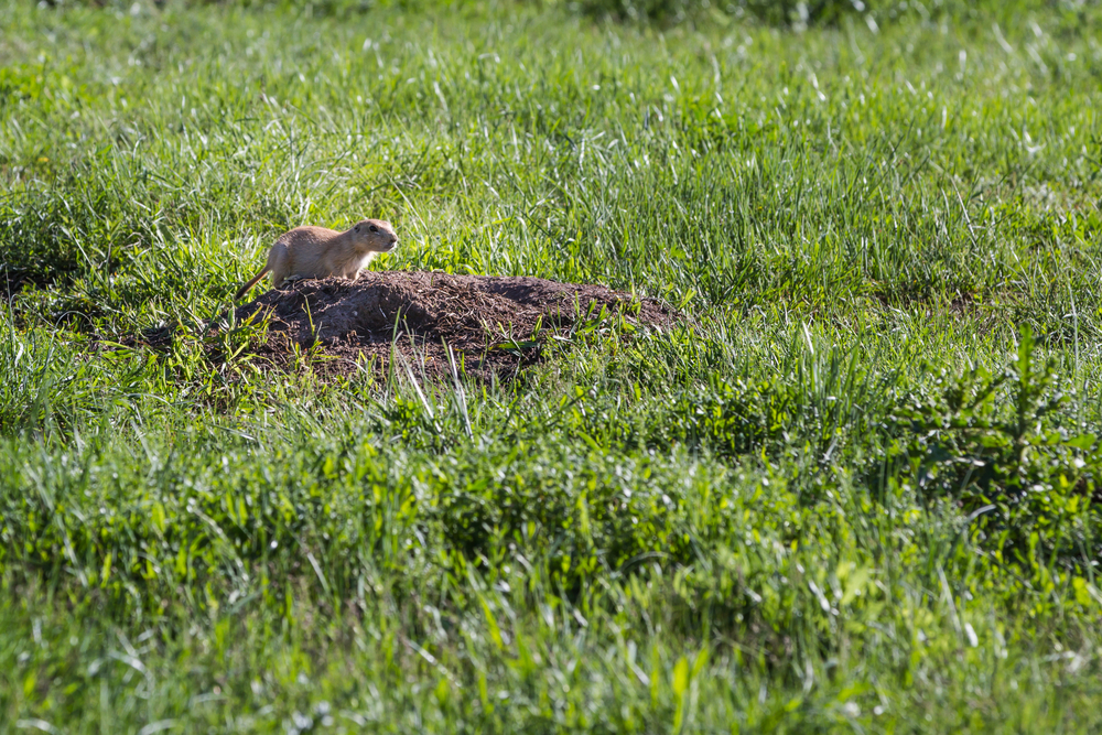 Keystone species are organisms that anchor an ecosystem. Prairie dogs are considered a keystone species for prairie ecosystems. Their burrows provide habitat for other species and help keep soil healthy. (Wollertz / Shutterstock)